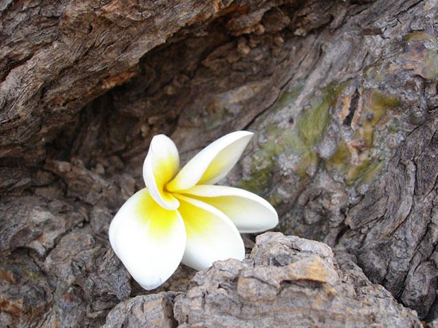 Frangipaniblüte_Blog sei frei ,liegt in einem Astloch eines Baumstammes